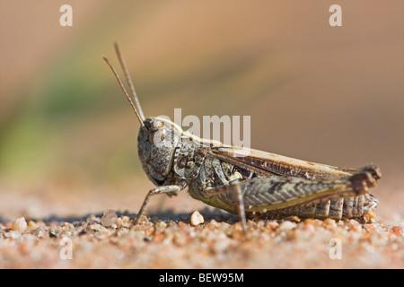 Blau-geflügelte Heuschrecke, Oedipoda Caerulescens, Nahaufnahme - Stockfoto