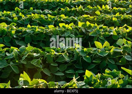 Landwirtschaft - Reihen von gesunden Mitte Wachstum Sojabohnen im späten Nachmittag Licht / Iowa, USA. - Stockfoto
