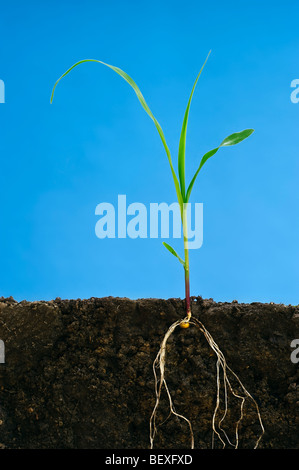 Landwirtschaft - Wachstum in der Anfangsphase Korn Maispflanze an der drei-Blatt-Stadium zeigt die Wurzelstruktur - Stockfoto