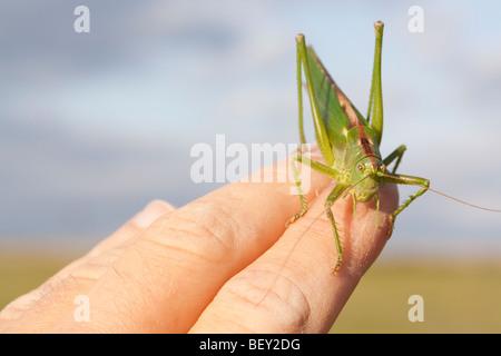 Eine große grüne Bush-Cricket (Tettigonia Viridissima) in der Hand gehalten - Stockfoto