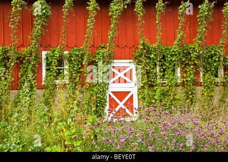 Bohnen auf rote Scheune bei Seed Savers Heritage Farm, in der Nähe von Decorah, Iowa, USA okuliert - Stockfoto