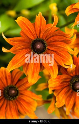 Orange Rudbeckias in Blüte - Stockfoto