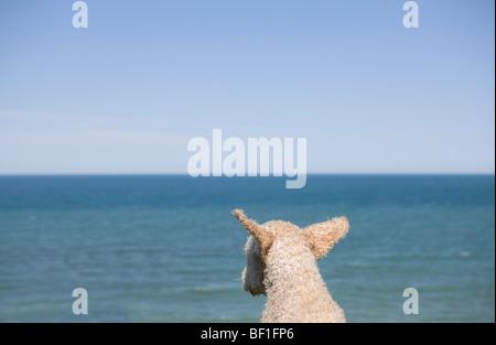 Porträt von einem Spanish Waterdog Blick auf das Meer, Rückansicht - Stockfoto