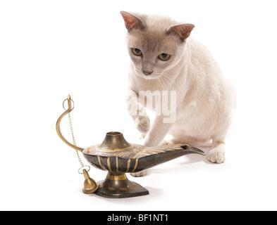 birmanische Katze mit Magic Lantern Studioportrait - Stockfoto