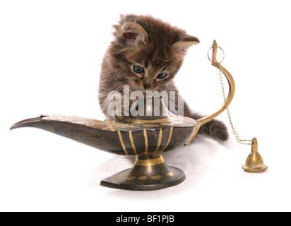 Kätzchen mit Magic Lantern Studioportrait - Stockfoto