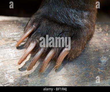 Klaue und Pfote Detail von einem Sun Bear (Helarctos Malayanus) - Stockfoto