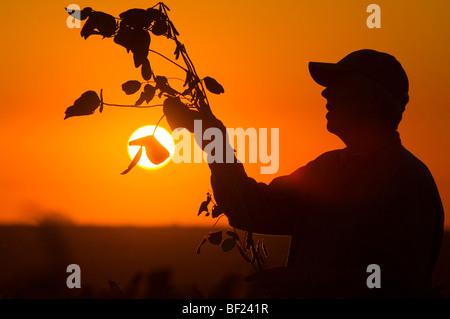 Landwirtschaft - ein Bauer mit dem Sonnenuntergang Silhouette inspiziert eine Mitte Wachstum Sojapflanze im Feld - Stockfoto