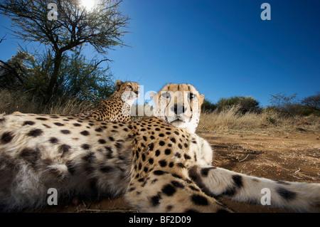 Der Gepard (Acinonyx Jubatus) Blick in die Kamera, Na'an Ku Se Wild Life Sanctuary Namibia hautnah.