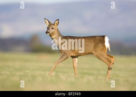 Europäische Rehe (Capreolus Capreolus), Doe zu Fuß im Feld. - Stockfoto