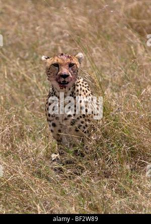 Gepard mit blutigen Gesicht aus seiner jüngsten töten - Stockfoto