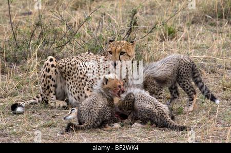 Geparden-Familie Fütterung - Stockfoto