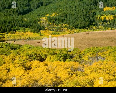 Vieh - Hereford Kühe grasen auf einer Bergwiese inmitten Herbstfarben / Alberta, Kanada. - Stockfoto
