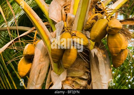 Landwirtschaft - Reifen Kokosnüssen (Cocos Nucifera) auf eine Kokospalme / Kona, Hawaii, USA. - Stockfoto