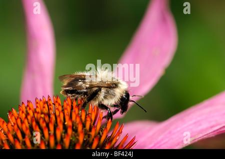 Honig Biene Verfüttere Futter Getränk trinken Nektar Pollen Bestäubung Bestäubung einzelne einsame eine Echinacea - Stockfoto