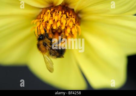 Honig Biene Fütterung füttern Getränk trinken Nektar Pollen Bestäubung Bestäubung einzelne einsame eine Dahlie Blume - Stockfoto