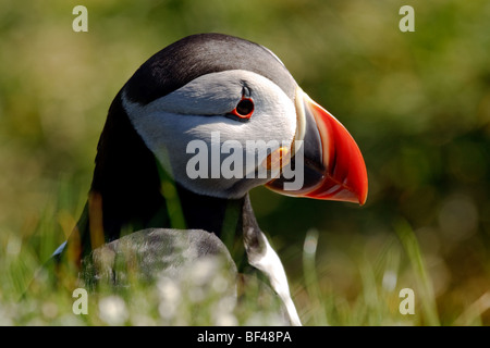 Papageientaucher in Shetland-Inseln - Stockfoto