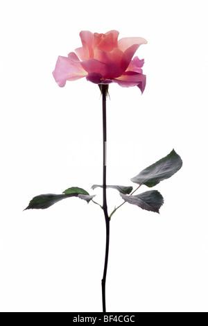 Rote Rose bin Stiel - Stockfoto