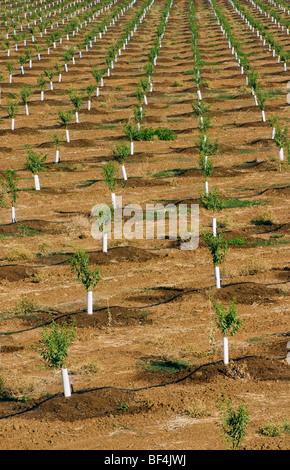 Reihen von jungen Mandelbäume in einem vor kurzem gepflanzten Obstgarten. Die Bäume haben Nagetiere Protektoren - Stockfoto