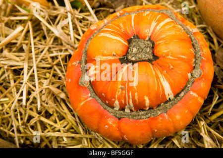 Bauernherbst-Anzeige der Kürbisse und Zucchini in Painswick Rokoko Gardens in Cotswolds - Stockfoto
