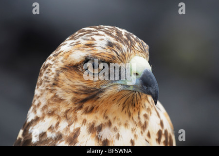Galapagos Falke (Buteo Galapagoensis), unreif, Espanola Insel, Galapagos, Ecuador, Südamerika - Stockfoto
