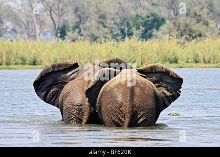 Eine Rückansicht von zwei afrikanischen Elefanten überqueren des Sambesi mit den Ohren flattert im Einklang - Stockfoto