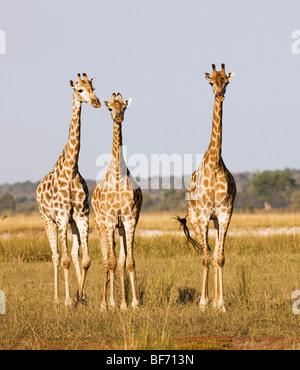 drei Giraffen - stehend / Giraffa Giraffe - Stockfoto