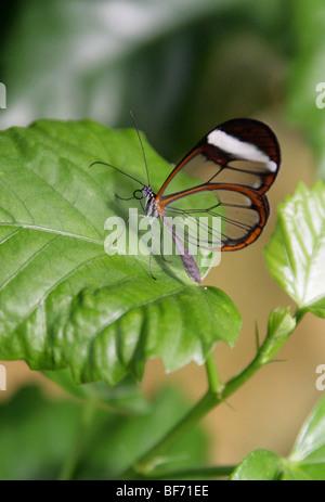 Das Glas Flügel Schmetterling, Greta Oto, Nymphalidae, Süd und Mittelamerika, Mexiko, Panama. - Stockfoto