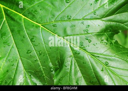 Grünes Blatt in Nahaufnahme - Stockfoto