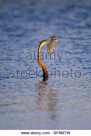 Afrikanische Darter mit Brassen, Anhinga Rufa, Okavango Delta, Botswana - Stockfoto