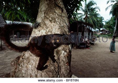 Schwarzen Lemur männlich, Eulemur Macaco Macaco, Nosy Komba, Madagaskar - Stockfoto