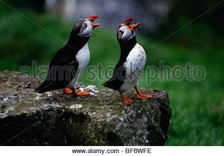 Papageitaucher umwerben, Fratercula Arctica, äußere Hebirdes, Schottland - Stockfoto