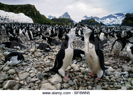 Kinnriemen Pinguin paar umwerben, Pygoscelis Antarcticus, South Georgia Island - Stockfoto