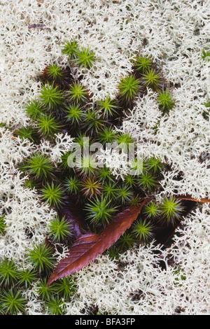 Rentier-Flechten (Cladonia Rangiferina) und Shining Bärlappen, Rolesville Mühlteich Naturraum, Rolesville, North - Stockfoto