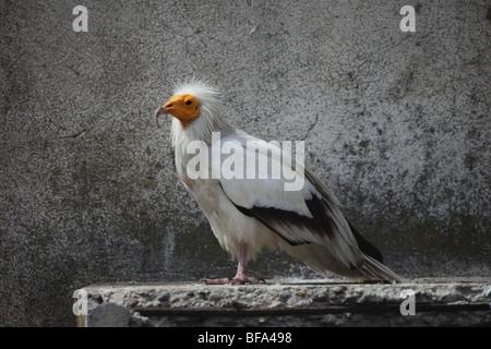 Ägyptischer Geier Neophron Percnopterus in Gefangenschaft - Stockfoto