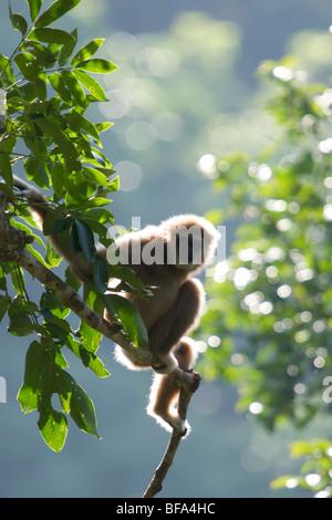 Eine wilde Lar Gibbon (Hylobates Lar), auch bekannt als White-handed Gibbon, ist ein Primat in der Familie Hylobatidae - Stockfoto