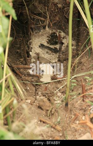 Wespen Nest ausgegraben von Badger - Stockfoto