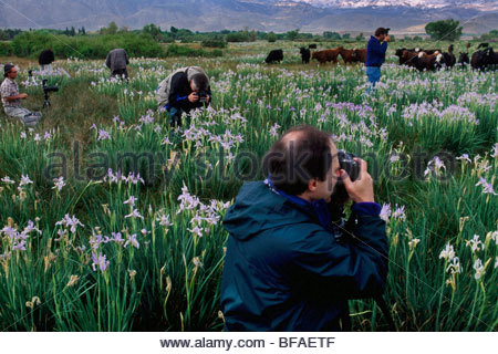 Foto-Workshop in einem Feld von Iris, Moraea SP., östliche Sierra, California - Stockfoto