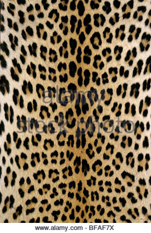 Leopardenfell, Panthera Pardus, Botswana - Stockfoto