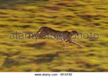 Gepard läuft, Acinonyx Jubatus, heimisch in Afrika - Stockfoto