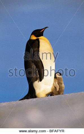 Kaiserpinguin mit Küken, Aptenodytes Forsteri, Antarktis - Stockfoto