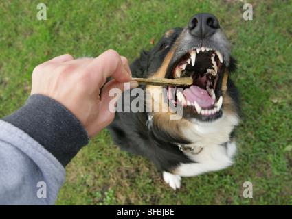 Border-Collie Kreuz Hund einzelnes Männchen mit Leckerbissen Park, Gosport, Großbritannien - Stockfoto