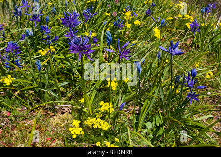 Blaue Camas (Camassia) Pflanze wächst in Victoria, Vancouver Island, British Columbia, Kanada