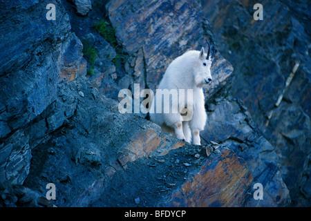 Bergziege (Oreamnos Americanus) auf Felsvorsprung im Glacier National Park, Britisch-Kolumbien, Kanada - Stockfoto