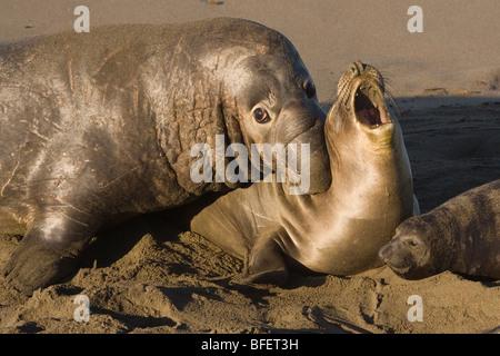 Nördlichen See-Elefanten (Mirounga Angustirostris), männliche beißen Weibchen während der Paarung, Piedras Blancas, - Stockfoto
