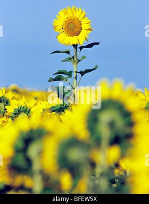 Sonnenblume (Helianthus Annuus) Feld in der Nähe von Oakbank, Manitoba, Kanada - Stockfoto