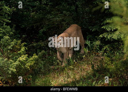 Cougar (Puma Concolor) taucht in Waldlichtung, Montana, USA - Stockfoto