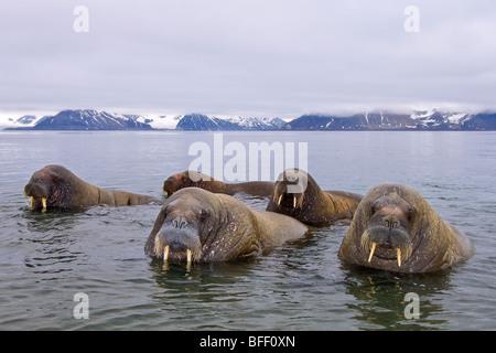 Erwachsene männliche atlantischen Walrosse (Odobenus Rosmarus Rosmarus), Spitzbergen, Arktis Norwegen - Stockfoto
