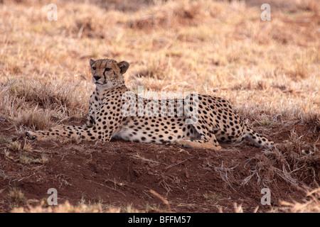 Gepard Acinonyx Jubatus in Masai Mara Kenia - Stockfoto