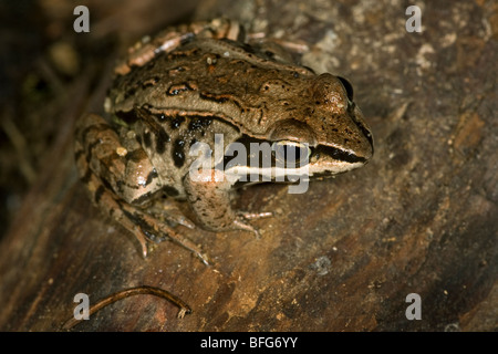 Holz-Frosch (Rana Sylvatica) (gefangen), Scout Island Nature Centre, Williams Lake, British Columbia, Kanada. - Stockfoto