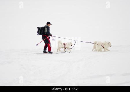 Man zog von Schlittenhunden auf Langlaufskiern, Banff, Alberta, Kanada - Stockfoto